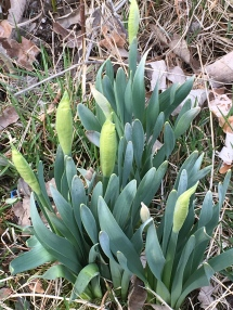 Daffodils - these should be flowering soon. The foliage may be a bit winter burnt, but that won't hurt the flower. Remember to let them grow until they die back (you should cut off spent blooms)