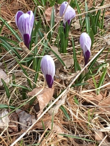 The spring crocus leaves look a bit like oversize greaa except when you look closely you can see the stripe down the centre. These also should be allowed to die off rather than be mowed with the grass (at least until mid June)