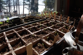 The tomatoes are emerging only a few days after planting