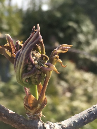 The flower bud from the witch hazel.