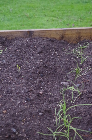 The onions are now in the garden. These were started a few weeks ago in small pots.