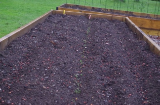 The spinach, chard and red lettuce are sprouting