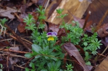 This little Johnny Jump Up is a wildflower that self seeds. I like them so leave them do their thing.