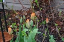 Love the happy tulip colours.
