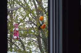 A surprise visitor, the oriole. And it is still in the area.