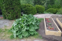 The rhubarb is ready for harvest.