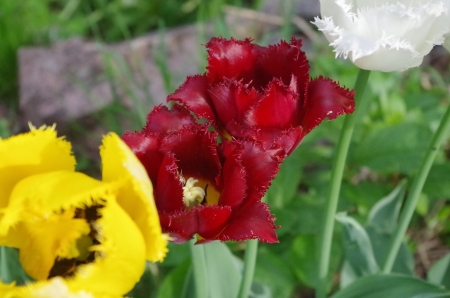 This tulip is the deepest red