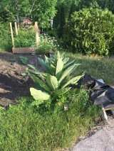 The giant mullien weed makes a great statement plant at the corner of the pumpkin bed.
