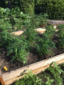 The upper tomato beds are looking great. Raised beds works really well up there on the hot rock