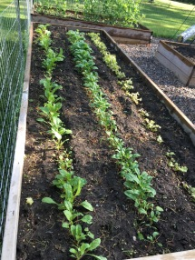 The spinish, chard, and lettuce are recovering from the bunny attacks - I how to have salad by this time next week