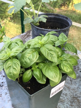 The green basil is distributed many places, but this pot is in the very hot greenhouse and seems to be extremely pleased with life