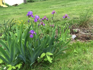This is a new grouping (from last year) and the iris are lovely