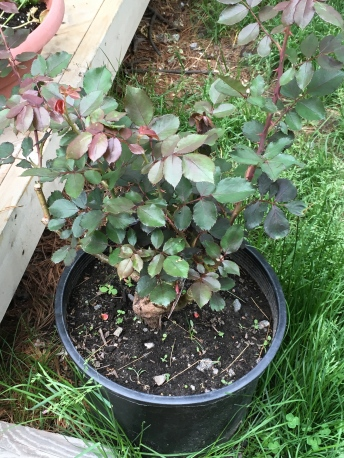 This came as a bare root rose - I soaked it for a day in water, then planted in a large container. It will go into the ground when we find the right spot for it. Meanwhile it is enjoying pot life.