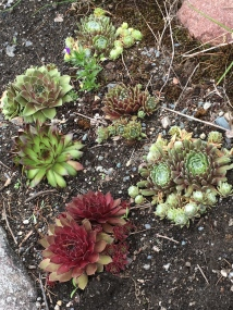 The hens and chicks have settled in and are growing