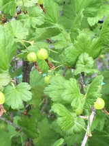Lots of gooseberries this year. Gooseberry jam is wonderful.