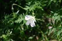 A hardy geranium.