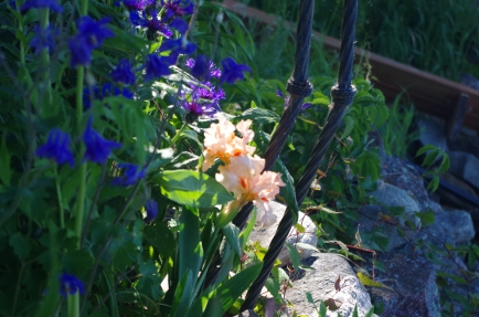 The peach bearded iris