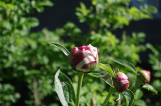 A double pink peony on the south side of the house