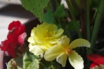 One of the begonias - these ones like the sun and as they fill out toward August will give beautiful colour.