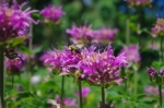 And the bee balm, which the bees adore. You can walk by and they will only ignore you, buzzing happily away about their business