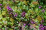 The thyme is in flower