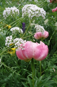 The salmon peony with valerian (white), lupin (purple), and day lily (yellow) in the background