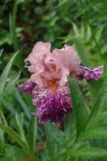 Verigated bearded iris