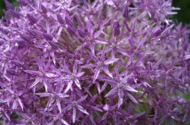 close up of a giant allium