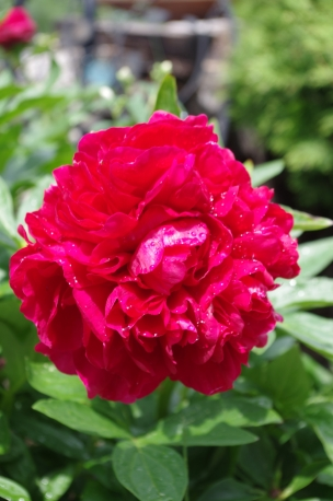 And another peony